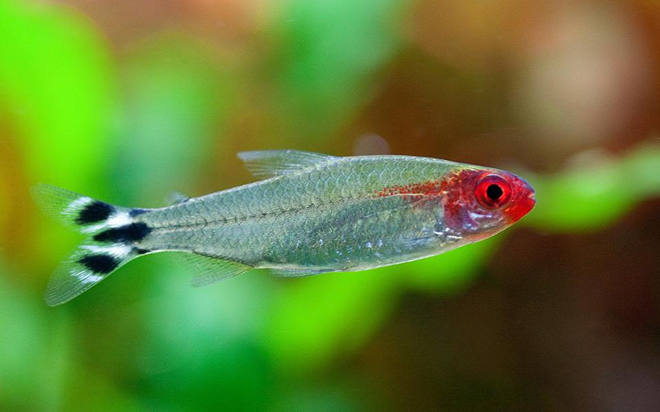 Aquacharts aquaristik magazin for Kampffische arten